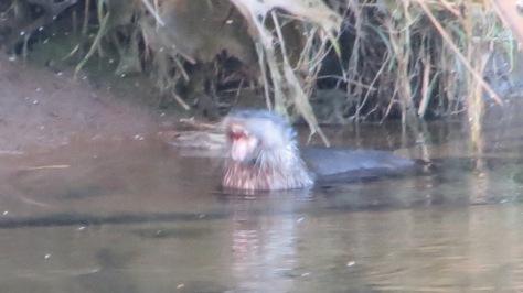River Otter - choke