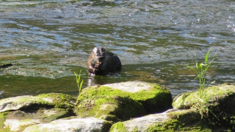 River Otter Munch