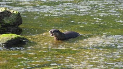 River Otter Gag