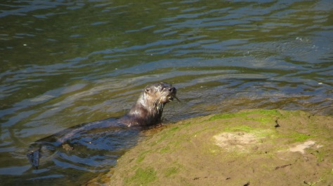River Otter - Catchin' His Limit