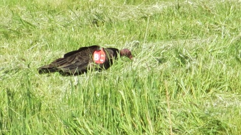 Turkey Vulture - Red Tag on (BC) Right Wing