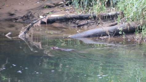 Beaver in the Alsea River