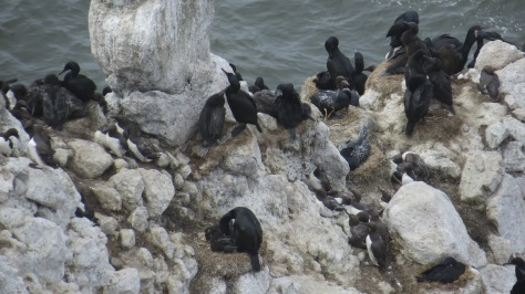 Cormorants and Common Murre Nests