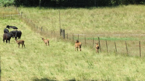 elk calves and cattle