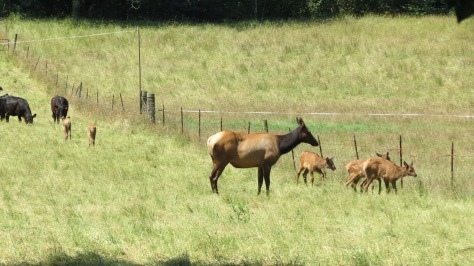 elk cow with calves crossing fence