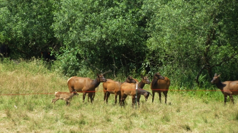 elk act strange around electric fence