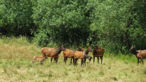 elk act strange around electric fence
