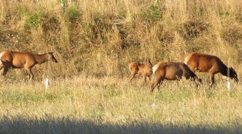 Sassy Elk Calf
