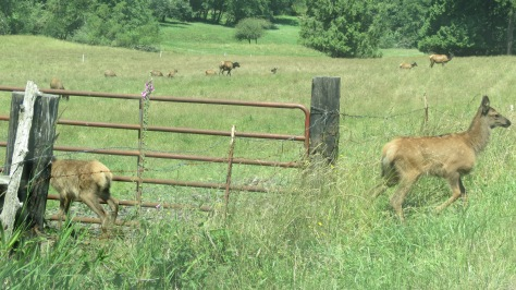 Elk calves jumped the lower barbed wire fence