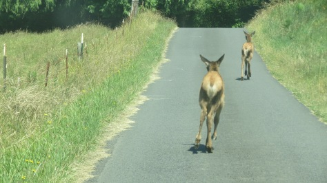2 elk calves running down road towards mom