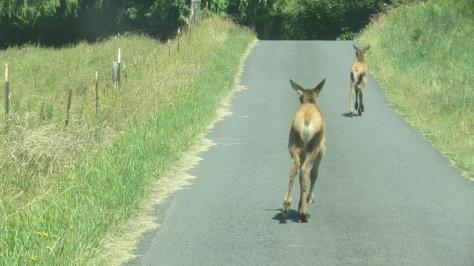 2 elk calves running down road towards mom