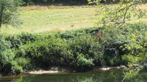 slow elk calf
