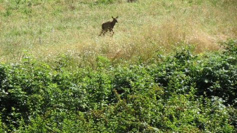 elk calf lagging behind