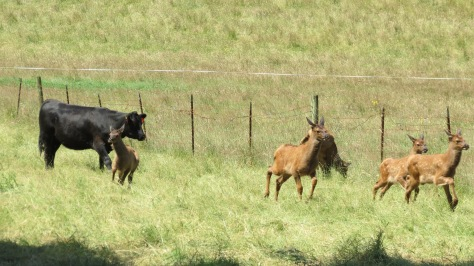 Elk calves run from cattle