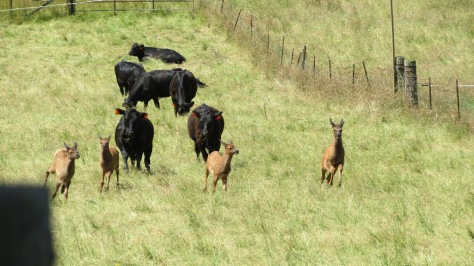 Cattle chase elk calves
