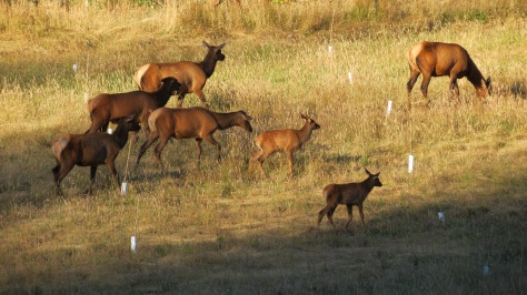 Elk herd with this year's calves