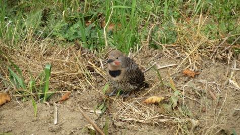 fledged flicker chick