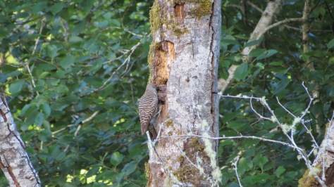 flicker chicks