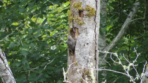 flicker chick venturing out of nest