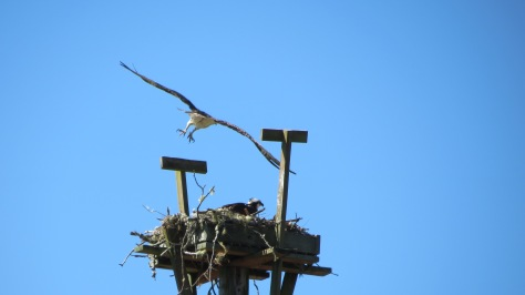 parent osprey flies away from nest