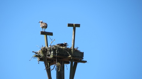 parent and young osprey on nest
