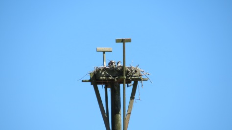 2 osprey in the nest at Waldport High School