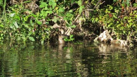 river otter on alsea river