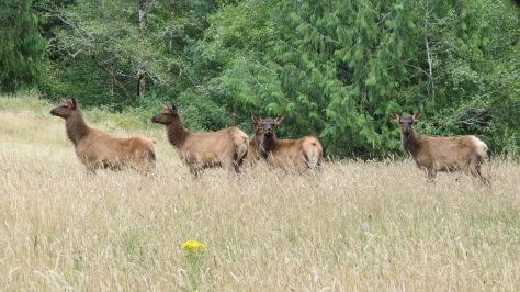5 Elk Calves