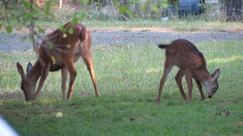 Blacktail Fawn eats apple