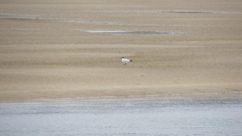 Elegant Tern on Alsea Bay