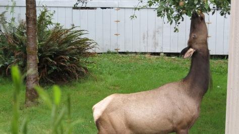 elk eating apple off tree