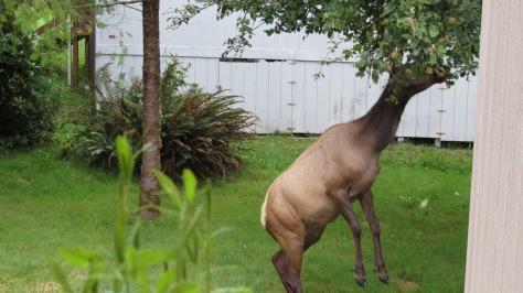 elk in apple tree