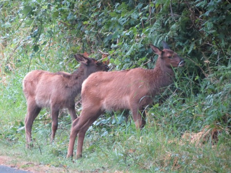 elk calves - spots almost all faded
