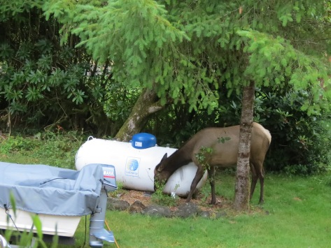 elk in rosebed