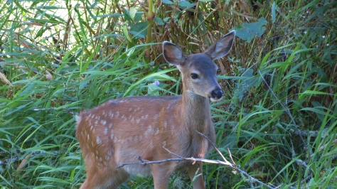 1 of fawn twins - black tailed deer