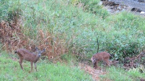 mule deer fawn twins
