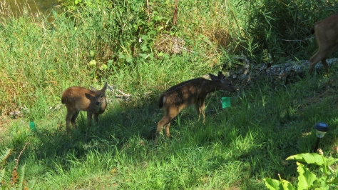 Black tailed deer with twin fawns