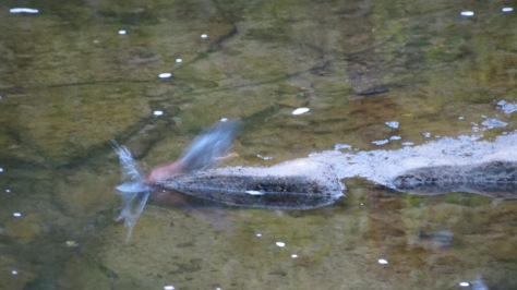 green heron strike