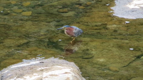 Green Heron at Low Tide on Alsea River