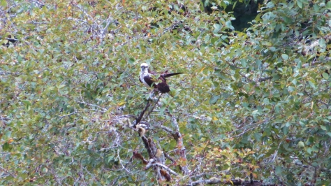 Osprey - adult