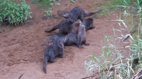 Mom with Otter Kits on Alsea River