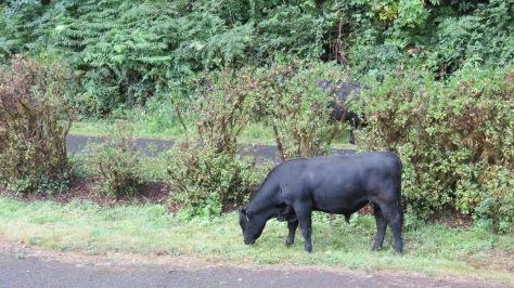Rare Black Angus Elk