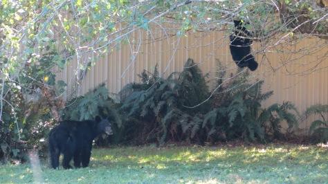bear cub hanging from tree limb
