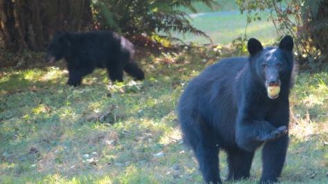 black bear sow eating apple
