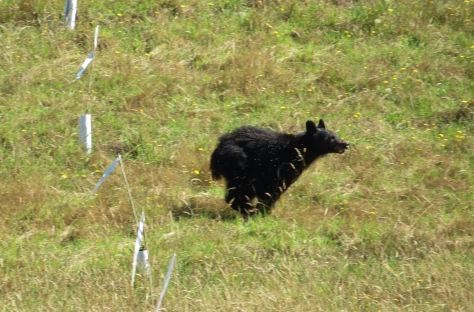 Black Bear Sow at full run