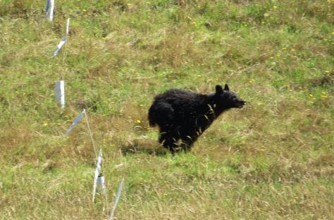 Black Bear Sow at full run