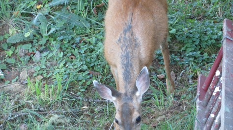 Black-tailed Doe with some hair-loss