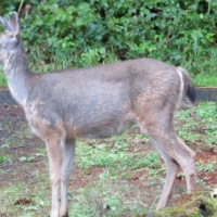 Hair Loss Syndrome in Black-tailed deer - Oregon Coast Range