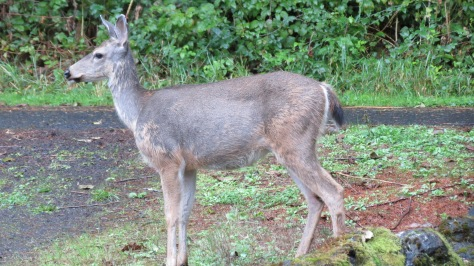black-tailed deer with hair-loss syndrome
