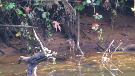 green heron on alsea river